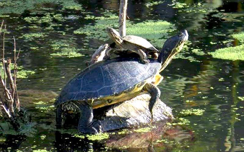napa-river-turtles