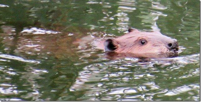Napa Beaver