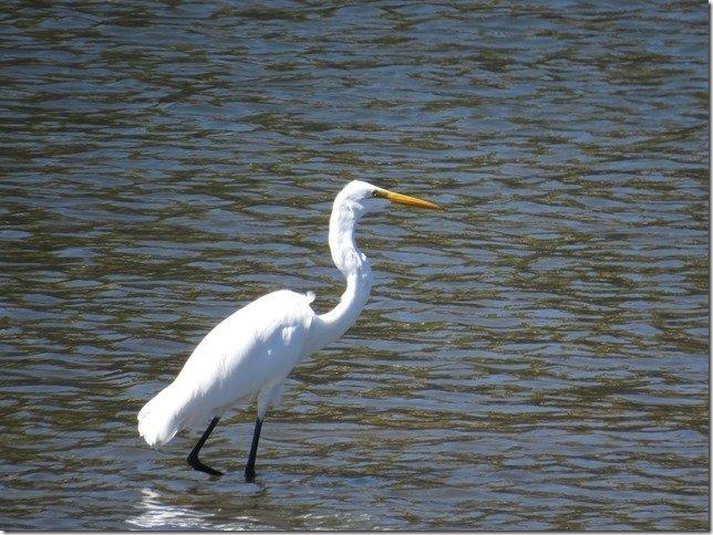 Napa river kayak egret