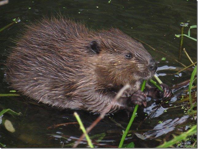 Beaver Napa
