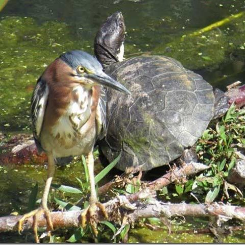 Heron-and-Turtle_1