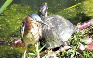 Heron-and-Turtle