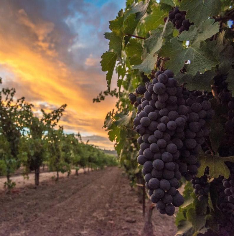 napa-grapes